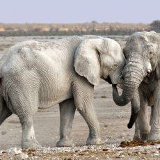 Öreg elefánt nem vén elefánt – Az afrikai elefántbikák párzási titkát figyelték meg tudósok