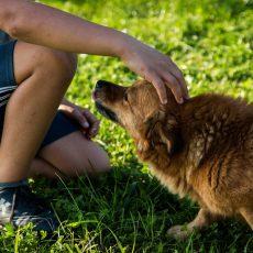 A törpemalacok és a kutyák emberekkel való kommunikációs viselkedéséről készült tanulmány
