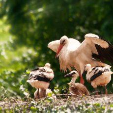 Hét kisgólya nőtt fel egy romániai gólyafészekben