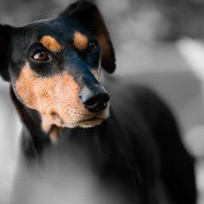 Szakértő: a legtöbb kutya ijedtséggel és félelemmel éli meg a tűzijátékot