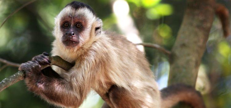 Új selyemmajomfajt fedeztek fel Brazíliában
