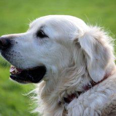 A kutyatartás negyedével csökkenti a bármely okból bekövetkező halálozás kockázatát