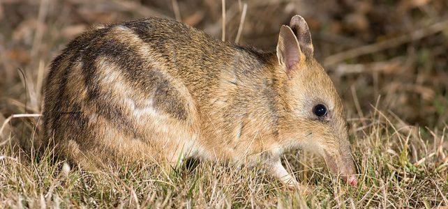 Átköltöztetéssel óvnák meg a kihalástól a hegyi erszényespeléket Ausztráliában