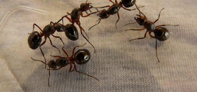 Kannibálként maradtak életben a hangyák egy lengyel atombunkerben
