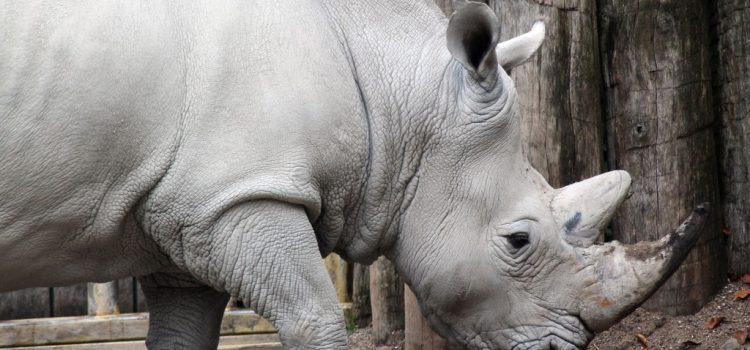 Lószőrből készült hamis tülök mentheti meg a rinocéroszokat