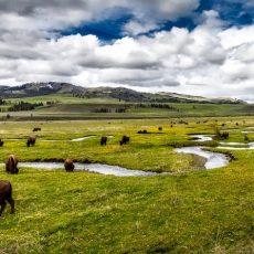 Súlyos fenyegetést jelentenek az amerikai nemzeti parkokra a betolakodó állatfajok