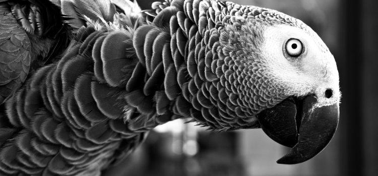 Az ember a felelős az Egyesült Államok egyetlen őshonos papagájának a kipusztulásáért