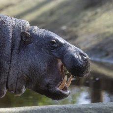 Törpe víziló született a Szegedi Vadasparkban