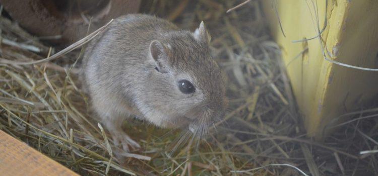 Idős nőstényegerek reprodukciós képességét sikerült visszaállítani egy kísérletben