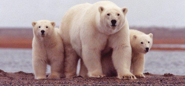 Soványabbak a Baffin-öböl jegesmedvéi és kevesebb bocsuk születik