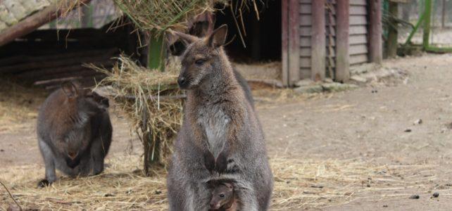 Kenguruk születtek a Nyíregyházi Állatparkban