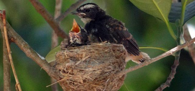 India madárpopulációja jelentősen megfogyatkozott az elmúlt évtizedekben