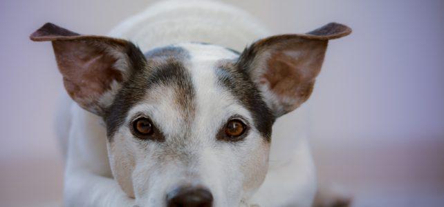 A kutyák arcfeldolgozása nem olyan kifinomult, mint az emberé