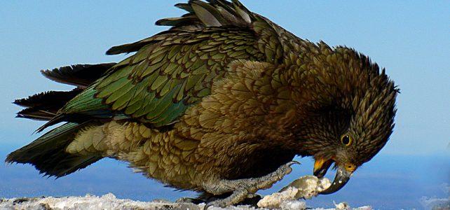 Az új-zélandi kea madár ugyanolyan eszes, mint a főemlősök