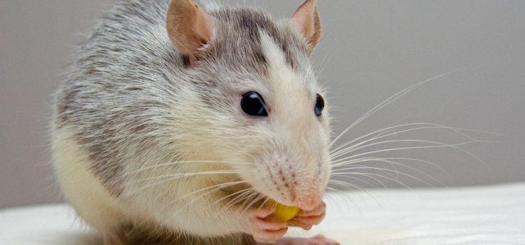 """Először bizonyították, hogy érzelmeket fejez ki az egerek """"arca"""""""